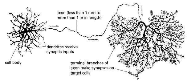 umdberg / Capacitance in nerve cells